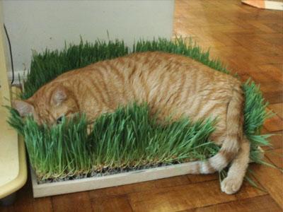 erva-dos-gatos