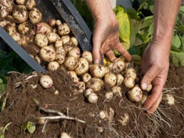 como-plantar-batatas-em-baldes