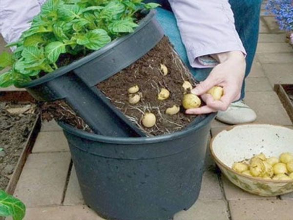 cultivo-de-batatas-em-baldes