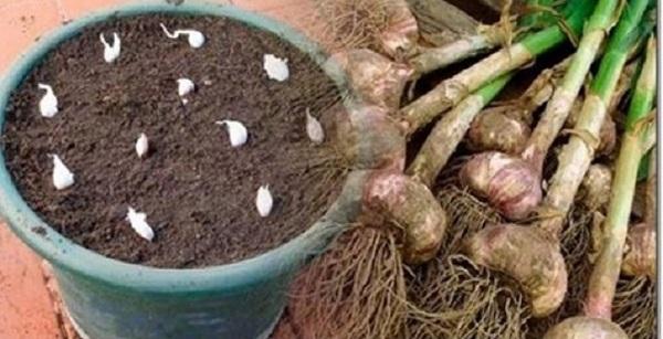 plantar alho em casa